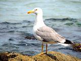 Жълтокрака чайка (Larus cachinnans) ; comments:4