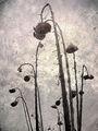 dead sunflowers ; comments:28