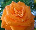 Портокалена красота ; Comments:10