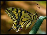 Papilio machaon ; comments:38