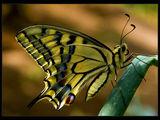 Papilio machaon ; comments:38