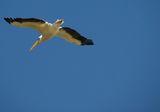 Розов пеликан (Pelecanus onocrotalus) ; comments:7
