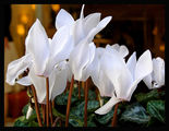 Бяла циклама ; comments:114