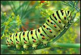 Пубертетът на пеперудите... ; comments:46