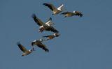 Розов пеликан (Pelecanus onocrotalus) ; comments:13