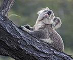 Koala ; comments:26