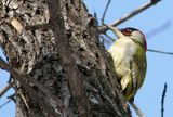 Зелен кълвач (Picus viridis) - мъжки ; comments:8