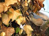Горска зидарка (Sitta europaea) ; comments:6