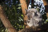 Koala ; comments:19