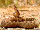 Пепелянката (Vipera amodites) ; comments:94
