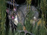 """flashed """"ring-tailed possum"""" ; comments:6"""