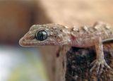 Балкански гекон (Cyrtodactylus kotschyi) ; comments:39