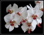 Орхидеи за мама ; comments:75