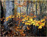 Кехлибарена есен ; comments:89