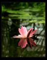 Water lily ; comments:24