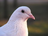 White dove ; comments:66