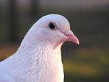 White dove ; comments:66
