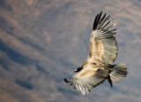 Andean Condor ; comments:82