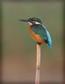 Земеродно рибарче; Kingfisher; Alcedo atthis ; comments:63