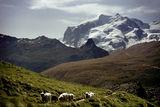 Glacier Sheep ; comments:30