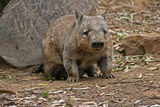 Wombat ; comments:11