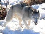 Големия лош вълк ; comments:33