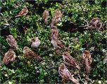 Парижки врабчета ; comments:71