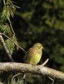 Жълта овесарка (Emberiza citrinella) ; comments:8