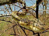 Пъстър смок (Elaphe sauromates) ; comments:45