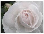 Сърцето на розата ; comments:186