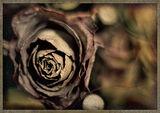 розите през декември ; comments:51