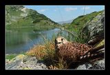 Vetrushka (Falco tinnunculus) ; comments:35