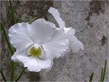 Орхидея ; comments:104