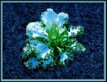 Desert Rose .. ; comments:9