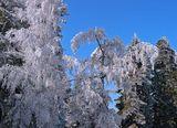 снежни борове ; comments:4