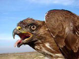 Мишелов (Buteo buteo) ; comments:101