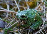 Захаросано дървесно жабче (Hyla arborea) ; Comments:1