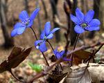 Пролетни цветя ; comments:32