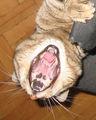 Ако котките ходеха на зъболекар... ; comments:5