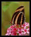 Dryadula phaetusa ; comments:26