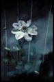 Цветята-мигове ; comments:56