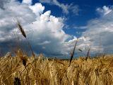 слънчеви летни жита ; comments:37