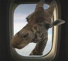 Жираф в самолета 2 ; comments:8