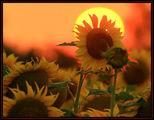 слънце в слънчогледите... ; comments:39
