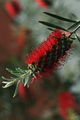 Callistemon / bottlebush ; Comments:11