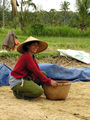 Harvesting the rice- Bali ; comments:23