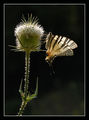 Бяла лястовича опашка (Iphiclydes podalirius) ; comments:18