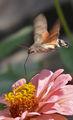 Гълъбова опашка ; comments:43