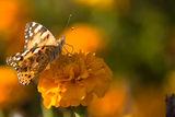 Оранжеви цветята... ; comments:22