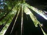 гигантска секвоя ; comments:16
